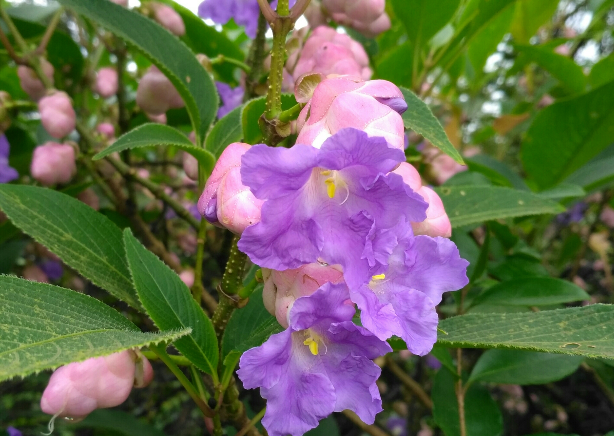 Strobilanthes callosus