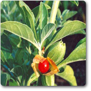 Ashwagandha is best known for stress Reduction, Neural Protection, and a Lot More from an Ancient Herb  The benefits of ashwagandha are many; in addition to promoting fertility, aiding in wound care, and boosting the immune system, some other benefits are:      Diuretic, Sleep aid     Galactogogue     Anti-epileptic     Anti-tumor, Pain relief     Eye health     Heart tonic     Lowers cholesterol & Regulates blood sugar     Reduces depression and anxiety, Combats stress     Fights cognitive decline due to brain cell degeneration